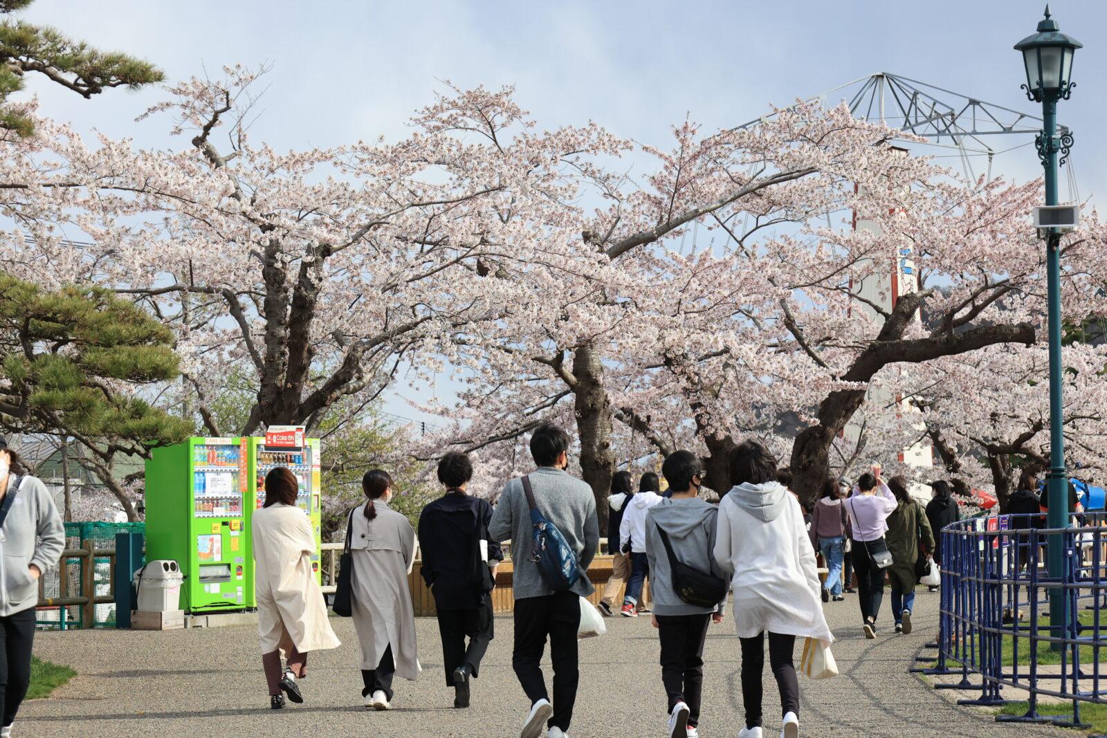 函館公園に咲く満開を楽しむ団体