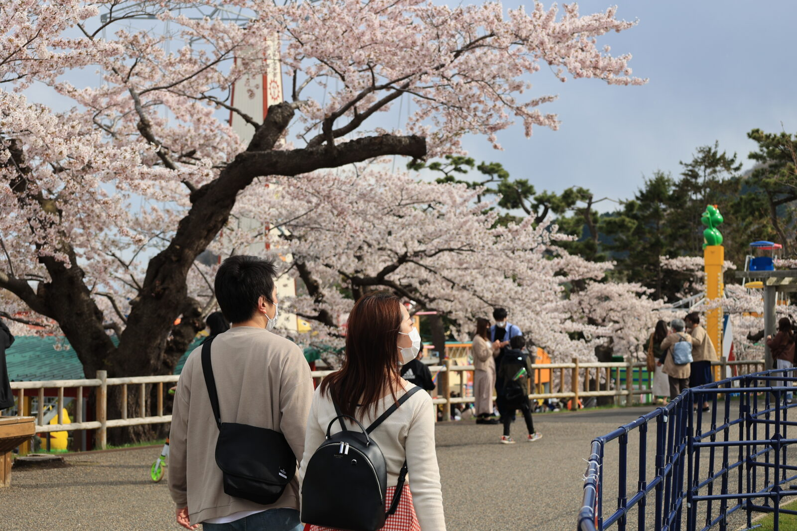 函館公園に咲く満開を楽しむカップルの姿
