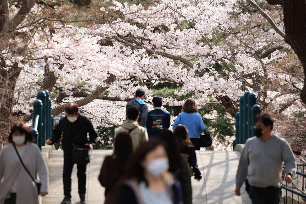 満開の桜を函館公園で見る