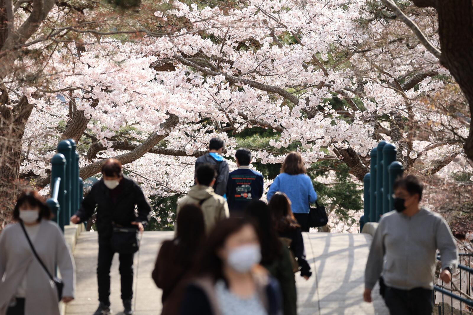 函館公園に咲く満開の桜