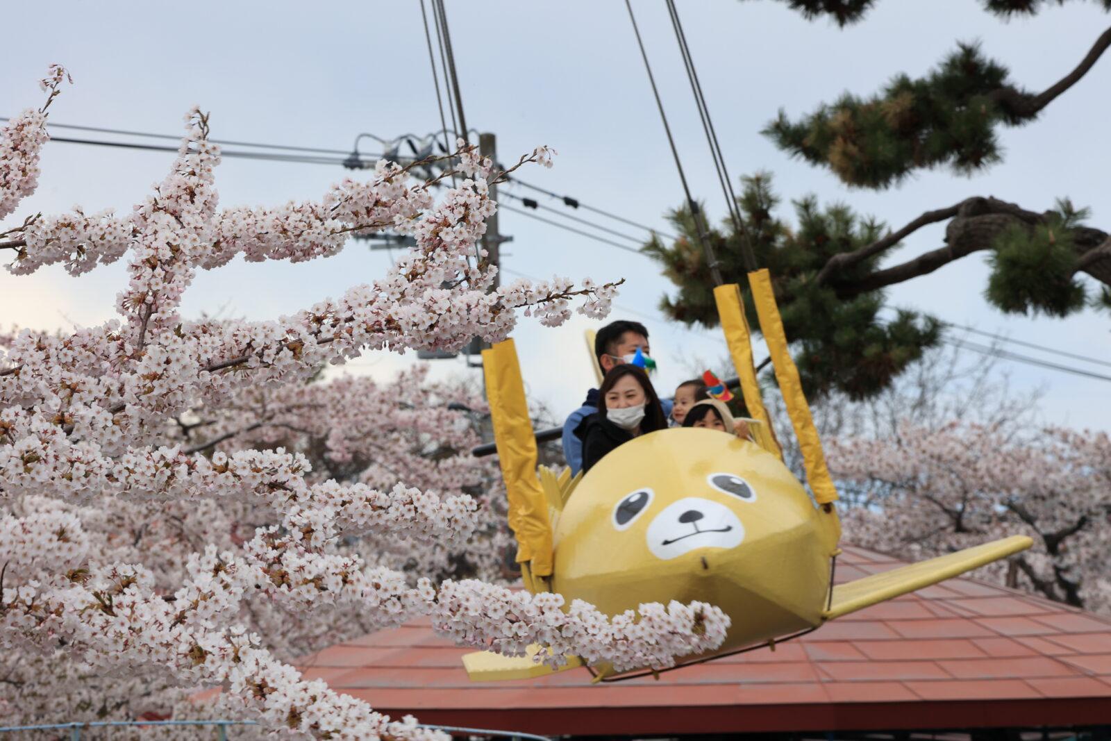 函館公園に咲く満開を楽しむ家族連れ